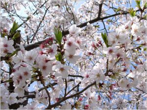 浜松西高校の桜